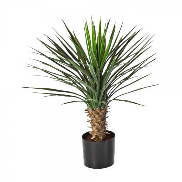 Palm (Yucca Rostrata)